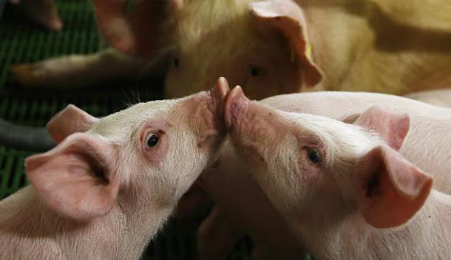 mulut babi
